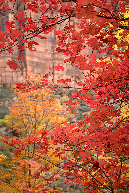 Zion, Zion National Park, ut, utah, red rock, trees, fall, colorado plateau, southwest, mountains, sandstone, zion canyon, cottonwood, trees, water, waterfall, dawn, maples, walls, maples, emerald poo, photo