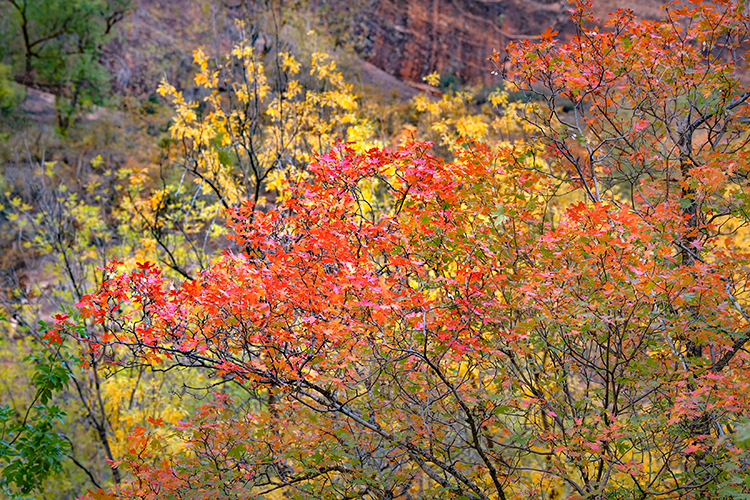 Zion, Zion National Park, ut, utah, red rock, trees, fall, colorado plateau, southwest, mountains, sandstone, zion canyon, cottonwood, trees, water, waterfall, dawn, maples, walls, maples, weeping roc, photo