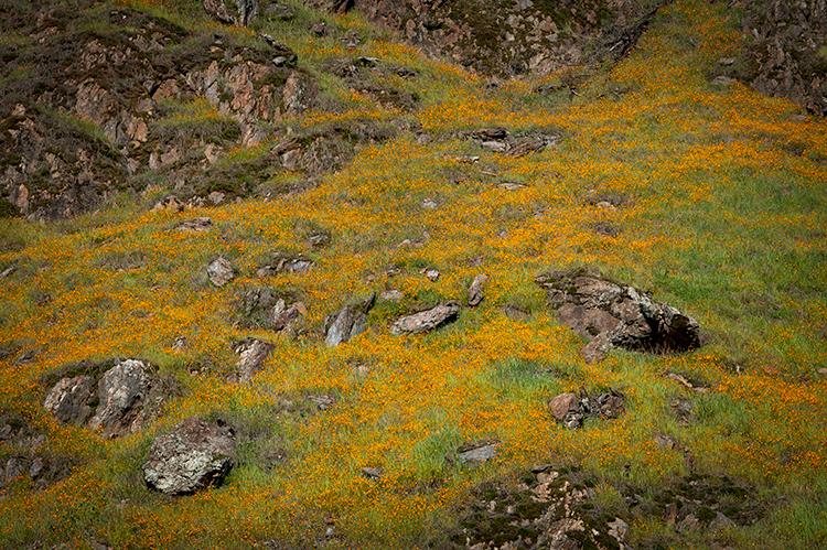 yosemite, national park, ca, california, mountains, sierra, valley, sunrise, snow, winter, colors flora, fiddle neck, wildflowers...