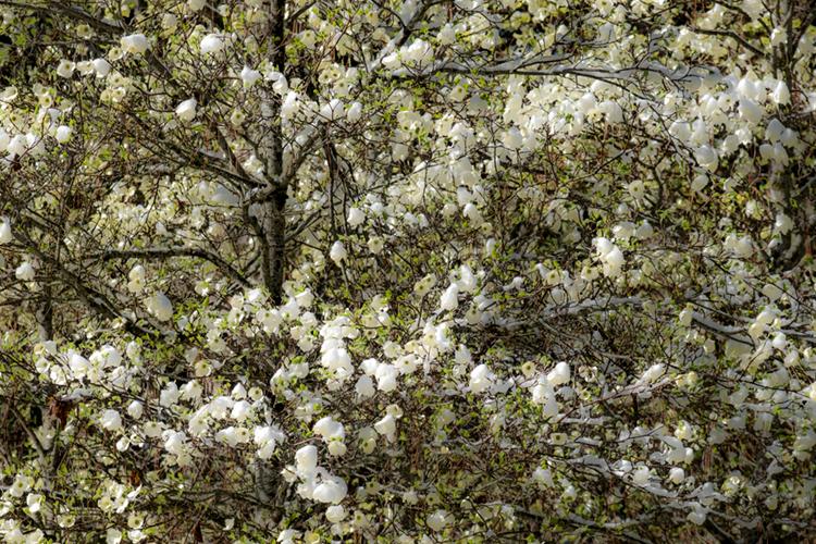 yosemite, national park, park, trees, dogwood, sierra, california, ca, spring, dogwood, winter, snow, photo