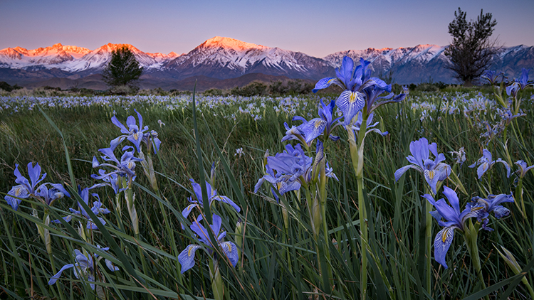 eastern sierra, sierra, aspens,  bishop, spring, ca, california, trees, water, mountains, spring colors, mountains, iris, flora, wildflowers, sunrise, mt tom, photo