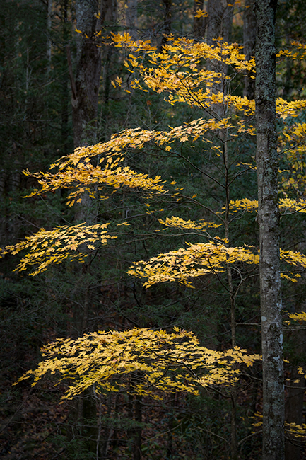 great smoky national park, smokys, mountains, fall, water, nc, tn, north carolina, tennessee, maples, colors, national, park...