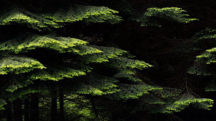 redwoods national park, redwoods, ca, california, flora, trees, jedediah smith, photo