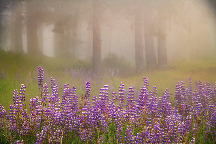 redwoods national park, redwoods, ca, california, flora, trees, lady bird reserve, lady bird, wildflowers, lupine, fog, photo