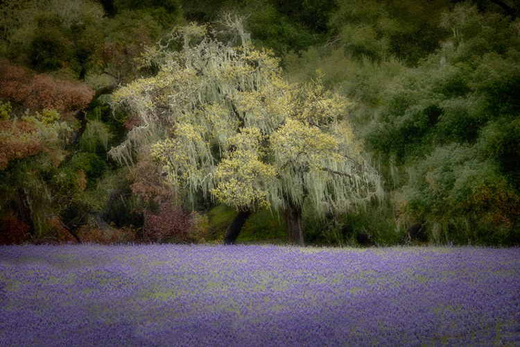 santa barbara, wildflowers, lupine, trees, flora, live oak, oak, california, ca, spring, bloom, photo