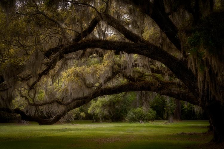 magnolia gardens, flora, oaks, spanish moss, spring, gardens, south, south carolina, carolina, plantations