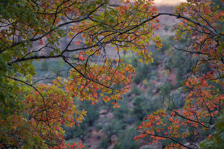 Zion, Zion National Park, ut, utah, red rock, trees, fall, colorado plateau, southwest, mountains, sandstone, zion canyon, weeping rock, cottonwood, trees, towers, flora, maples, fall colors, virgin r, photo
