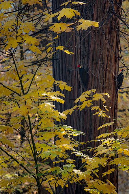 yosemite, national park, sierra, valley, fall, trees, merced, flora, mountains, leaves, ca, colors, dogwoods, merced river, merced, maples, wildlife, woodpecker, fauna, photo
