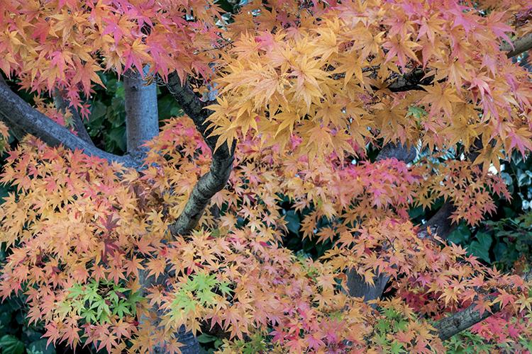 fall, fall colors, maples, trees, autumn, , photo