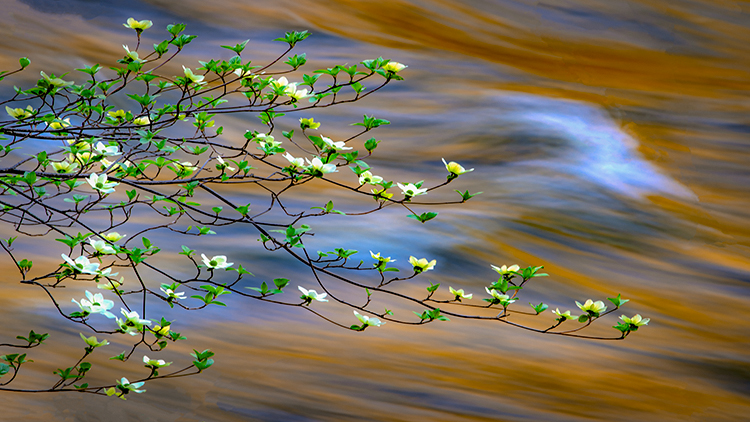 Yosemite, Sierra, mountains, yosemite valley, merced river, merced, water, dogwood, spring color, fall, reflection, spring, photo