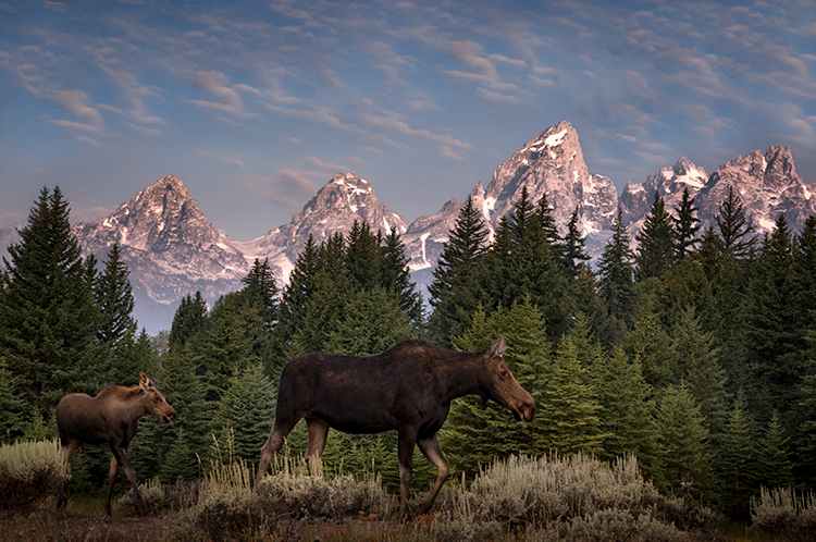 grand teton national park, tetons, snake river, snake, river, mountains, trees, water, color, aspens, sunset, clouds, wildlife, moose, calf, sow, photo