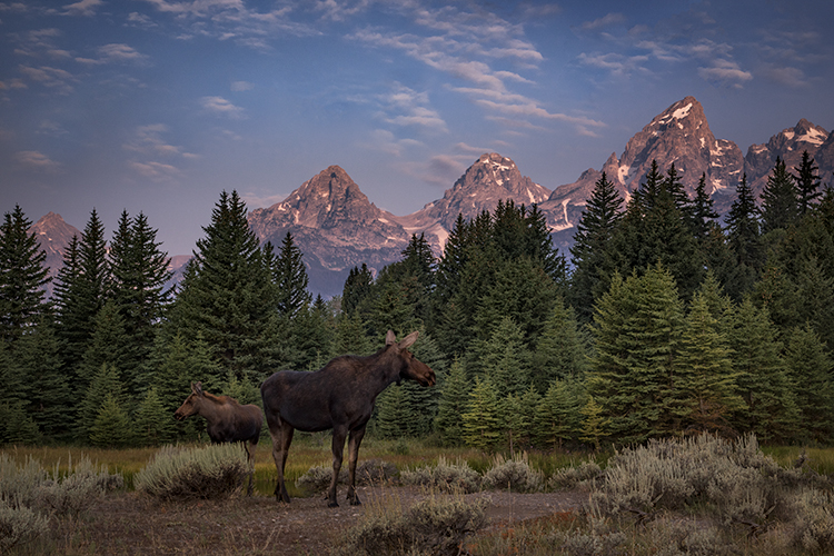 grand teton national park, tetons, snake river, snake, river, mountains, trees, water, color, aspens, sunset, moon, clouds, schwabaker, flora, schwabacher landing, moose, wildlife, photo