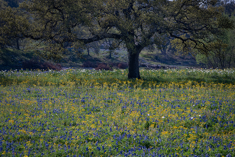 texas, tx, wildflowers, blue bonnets, indian paint brush, texas hill country, flora, lupine, flora, oaks, spring, mustard, larch, fredericksburg, photo