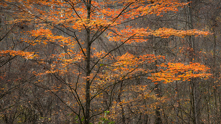great smoky national park, smokys, mountains, fall, water, nc, tn, north carolina, tennessee, maples, colors, national, park, flora, trees, oconaluftee, river, maples, photo