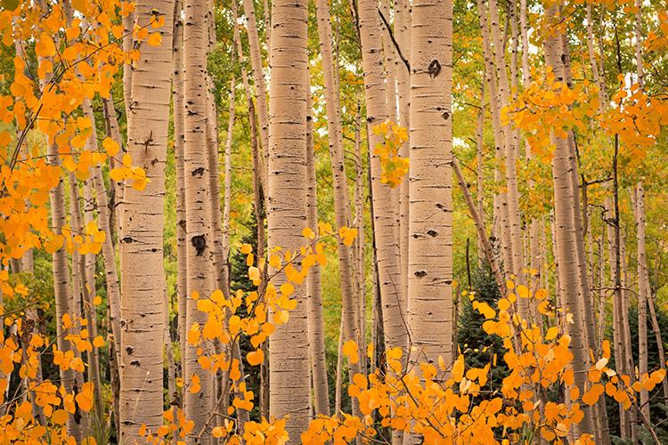 Rocky Mountains, San Juan mountains, rockies, san juans, fall, autumn, color, trees, aspen, pine, fir, colorado, co, owl creek, rainbow, ridgway, photo