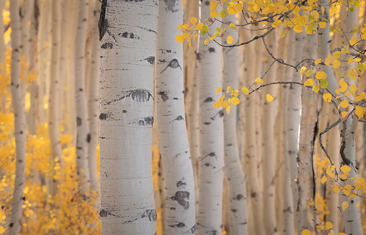 colorado, co, fall, san juan, owl creek, aspens, trees, flora, mountains, colorado plateau, sunrise, dallas divide, ridgway, backlight, rockies, rocky mountains, national park, sunrise, photo