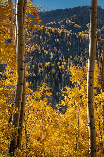 colorado, co, fall, san juan, owl creek, aspens, trees, flora, mountains, colorado plateau, sunrise, dallas divide, ridgway...