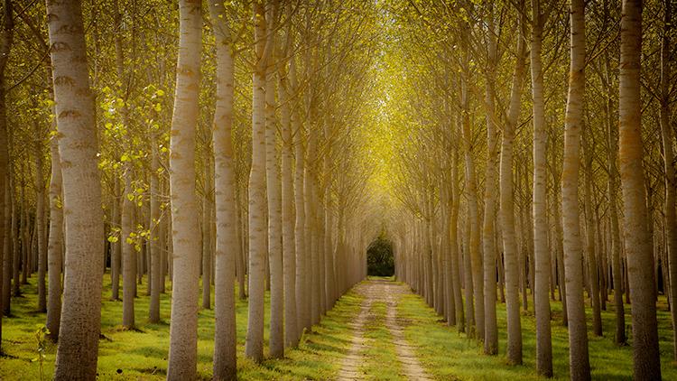 italy, europe, tuscany, pisa, flora, trees, poplar, photo
