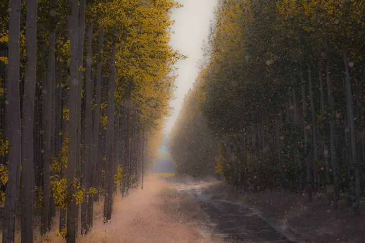 oregon, or, poplar, trees, impressions, mood, columbia gorge,, photo