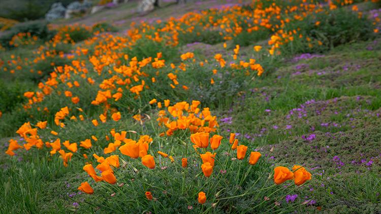 coast, pacific, valley, california, ca, big sur, wildflowers, central coast, photo