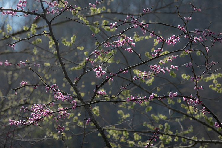 Great Smoky Mountains, smokies, smokys, Tennessee, tn, north carolina, nc, spring, bloom, mountains, water, little river, trees, flora, red bud, photo