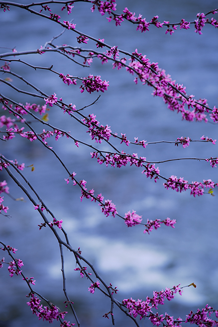 red bud, trees, merced river, yosemite national park, mountains, water, sierra, merced, ca, california, photo