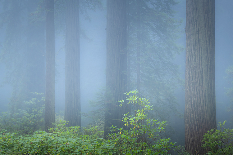 redwoods, redwood national park, damnation creek, california, ca, fog, rhododendron, rhodie, crescent city, forest, trees, flora, photo