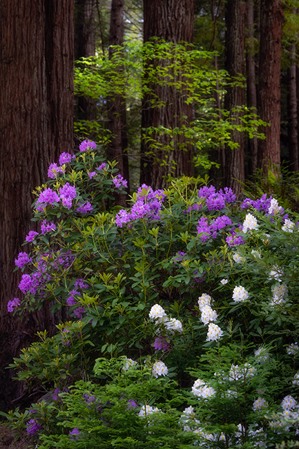 redwoods national park, redwoods, ca, california, flora, trees, jedediah smith, rhododendrons, rhodes, fog, photo