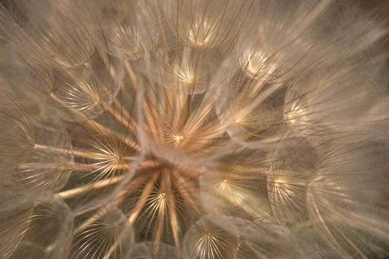 salsify, seed ball, plants, palouse, WA,, photo