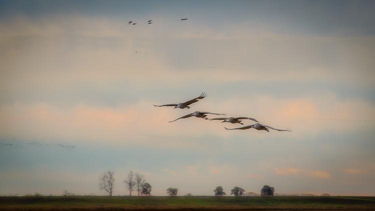 migratory, birds, fowl, geese, sandhill, cranes, central valley, sacramento valley, california, flyover, ponds, stockton, photo