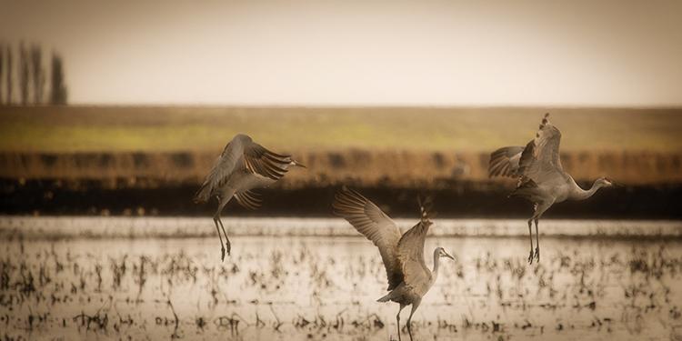migratory, birds, fowl, geese, sandhill, cranes, central valley, sacramento valley, california, flyover, ponds