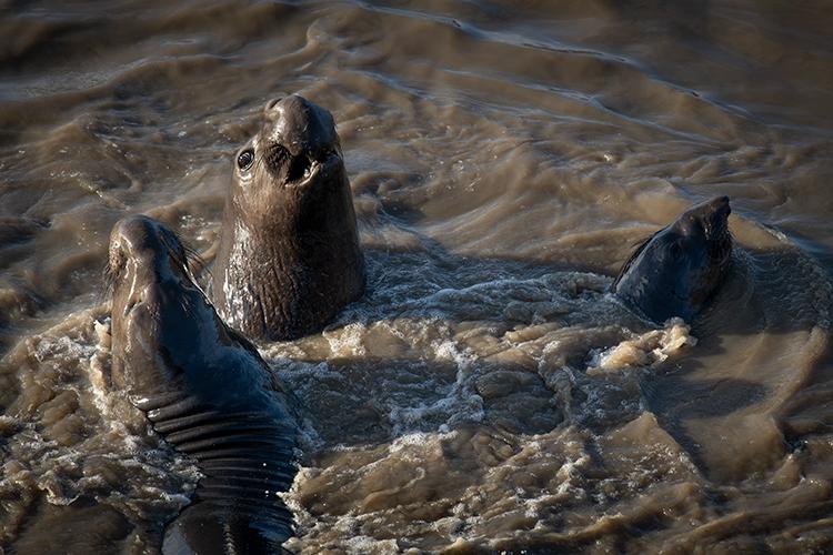 big sur, san simeon, elephant seal, seals, cambria, ca, california, pacific, ocean, water, beach, surf, rookery, coast, photo