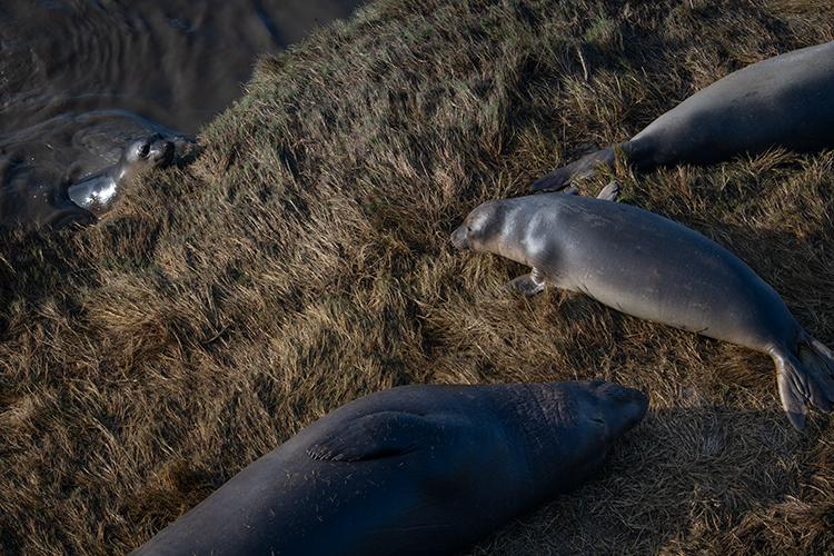 big sur, san simeon, elephant seal, seals, cambria, ca, california, pacific, ocean, water, beach, surf, rookery, coast, fauna, photo