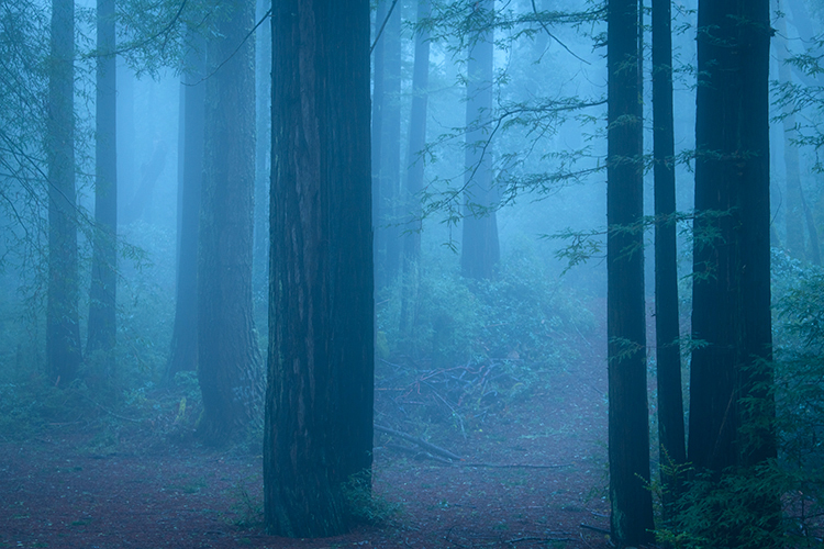 redwood, forest, fog, ca, california, san mateo, purisima, preserve, creek, flora, mood, atmospherics, peninsula, woods, bay area, , photo
