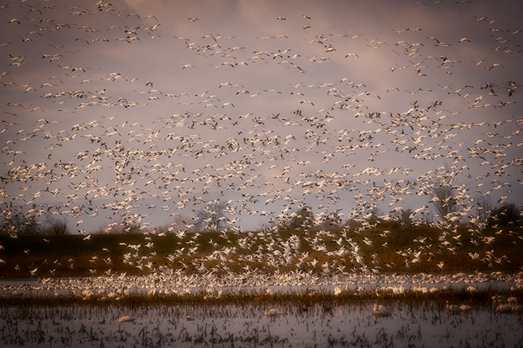 migratory, birds, fowl, geese, sandhill, cranes, central valley, sacramento valley, california, flyover, ponds, photo
