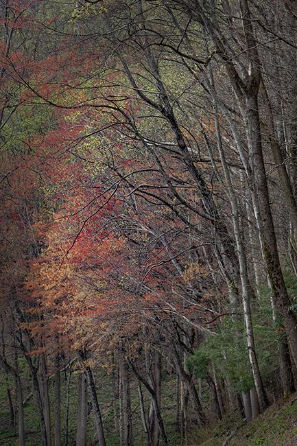 Great Smoky Mountains, smokies, smokys, Tennessee, tn, north carolina, nc, spring, bloom, mountains, trees, flora, photo