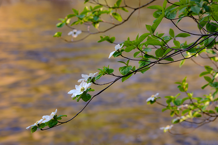 yosemite national park, yosemite, merced, river, merced river, valley, spring, bloom dogwoods, flora, sierra, yosemite valley, water, sunset, photo