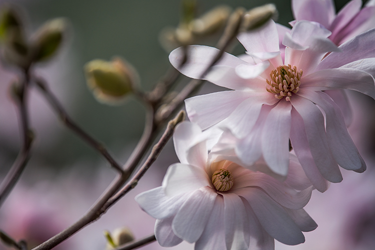 spring, bloom, magnolia, garden, plants, flora, california, northern california, ca, macro, photo