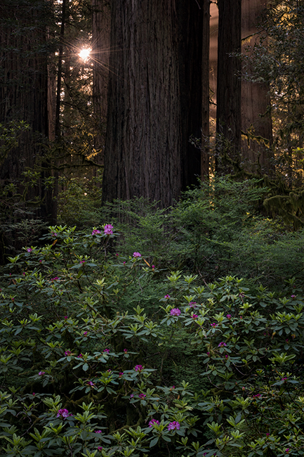 redwood national park, redwoods, rhododendrons, rhodes, forest, trees, n ca, northern ca, northern california, california, pacific coast, coast redwoods, foliage, flora, sun beams, sunbeams, sunrise, photo