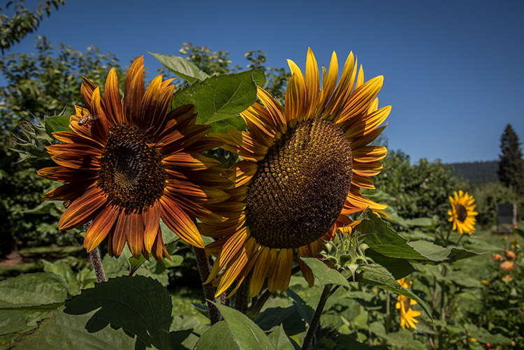 mt hood, cascades, mountains, flora, sunflowers, columbia gorge, photo