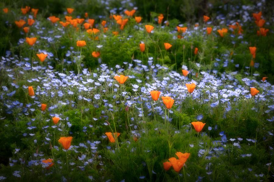 wildflowers, spring, flowers, poppy, poppies, ca, california, flora, , photo