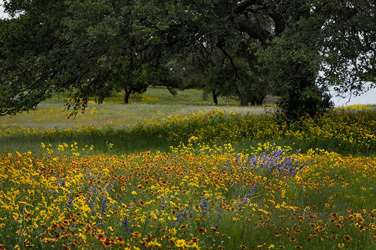 wildflowers, spring, texas, trees, tx, photo