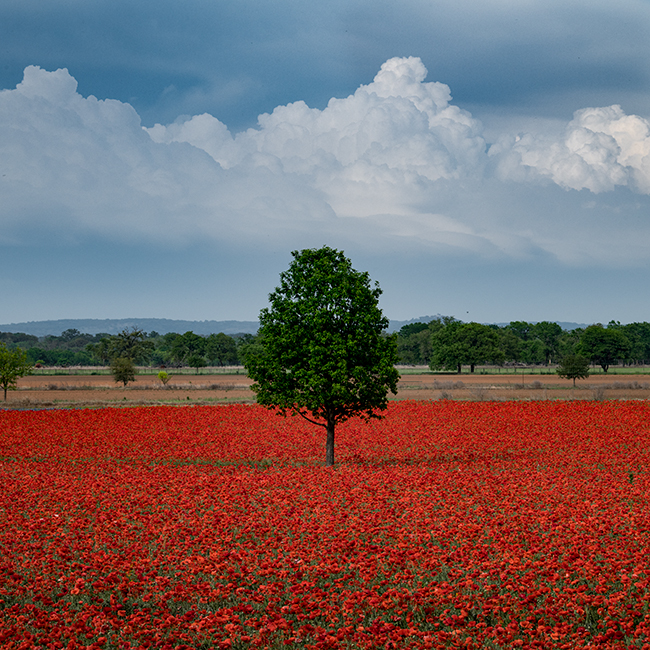 texas, tx, spring, flora, trees, clouds, hill country, poppies, , photo