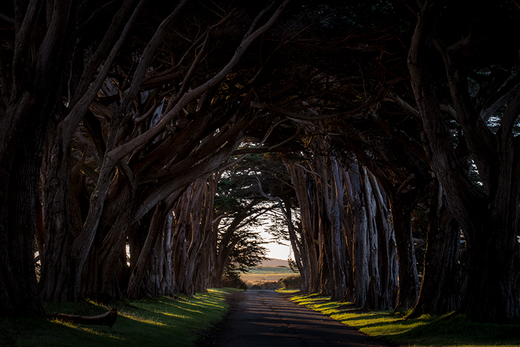 point reyes, seashore, national park, ca, pacific, ocean, trees, tunnel, cypress, tree tunnel, sunrise, fog, west marin, marin, west, photo