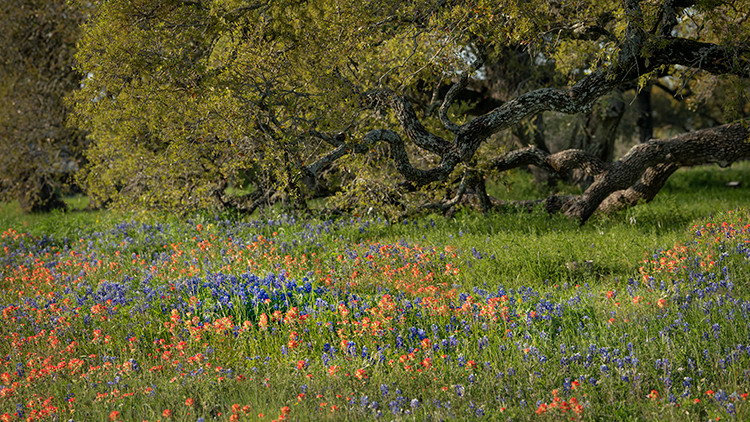 texas, tx, wildflowers, blue bonnets, indian paint brush, texas hill country, flora, lupine, flora, oaks, spring, oak, photo