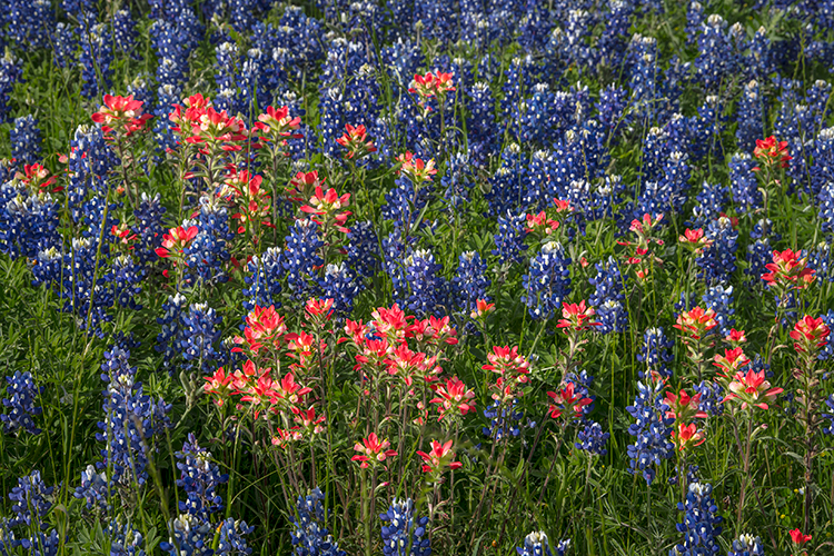 texas, tx, wildflowers, blue bonnets, indian paint brush, texas hill country, flora, lupine, flora, photo
