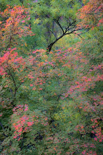 trees, fall, fall color, zion, mountains, utah, ut, southwest, virgin, river, virgin river,  cottonwoods, twilight, sunrise...