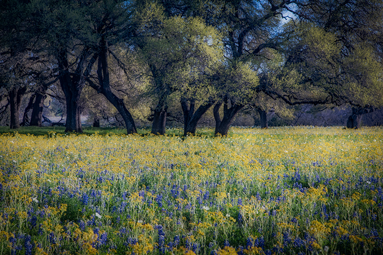 texas, tx, wildflowers, blue bonnets, indian paint brush, texas hill country, flora, lupine, flora, oaks, spring, mustard, larch, fredericksburg, photo
